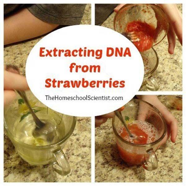 18.) Extraer el ADN de fresas COMO divertido experimento un.