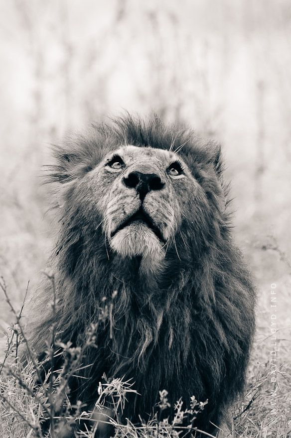 This is Romeo, a picture I took in 2010. He was of the Marsh Pride of the Masai Mara, and was one of my favourites along with Clawed and Notch. Sadly, I fear Romeo is no more, his whereabouts are unknown, having been recently driven out of the pride along with Clawed by four new males.