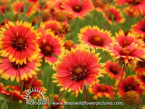 Thumbnail Index Of Red Texas Wildflowers Texas Wildflower Wild Flowers Wildflower Tattoo Indian Blanket Flower