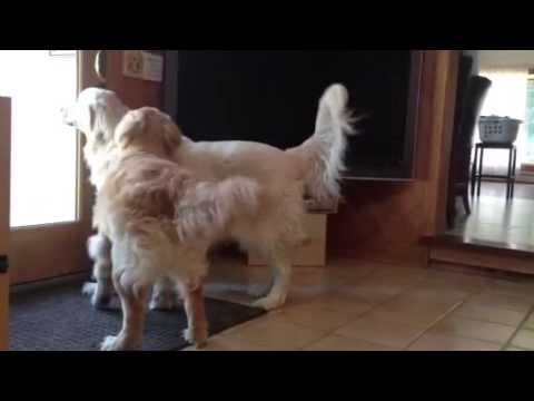 Ray Charles The Blind Golden Retriever And His Seeing Eye Dog So