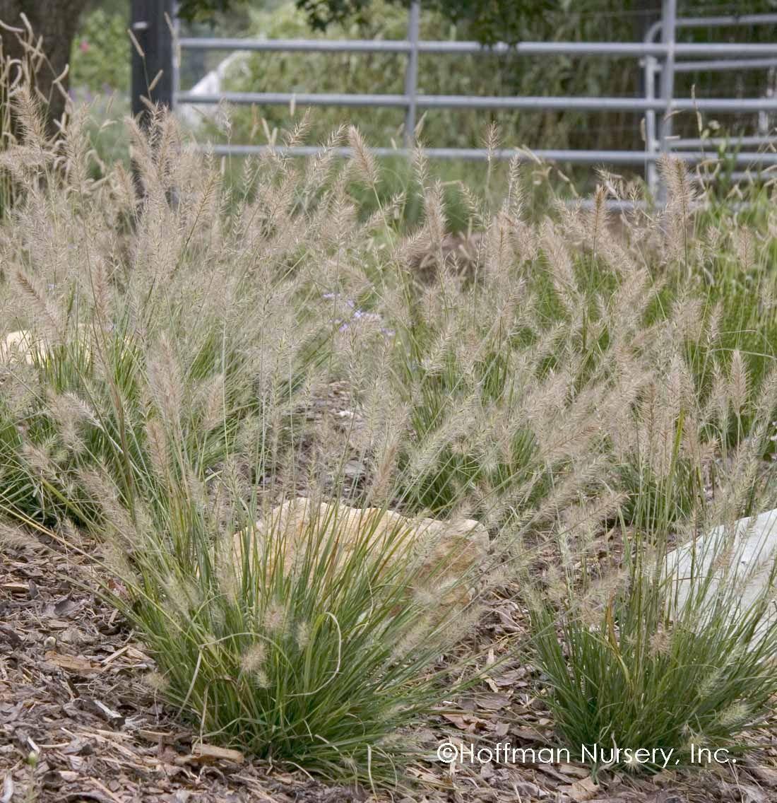 Pennisetum Alopecuroides Little Bunny Plants Coastal Gardens Plant Nursery