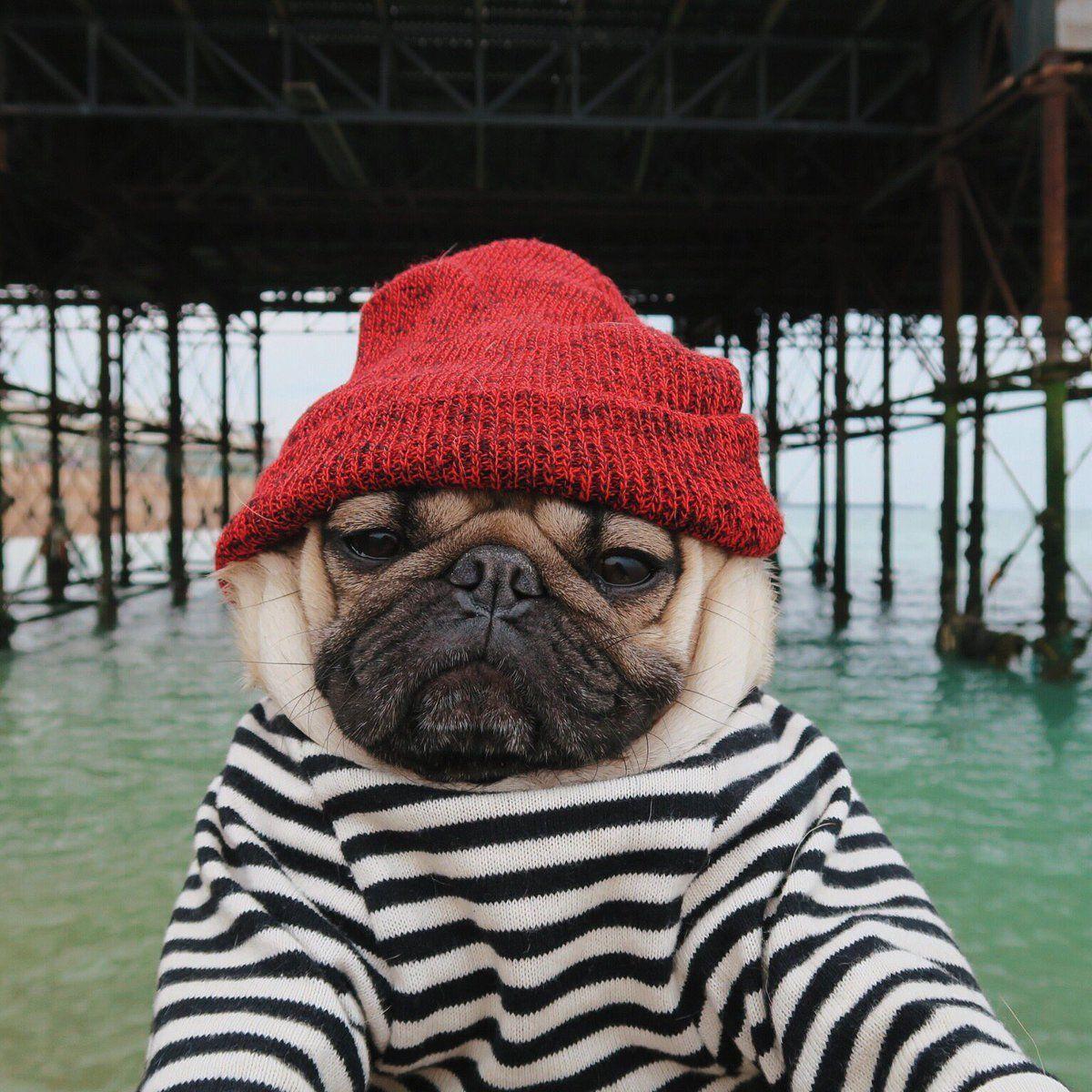 Doug The Pug (@itsdougthepug)   Twitter #Pug   Pug   Cute