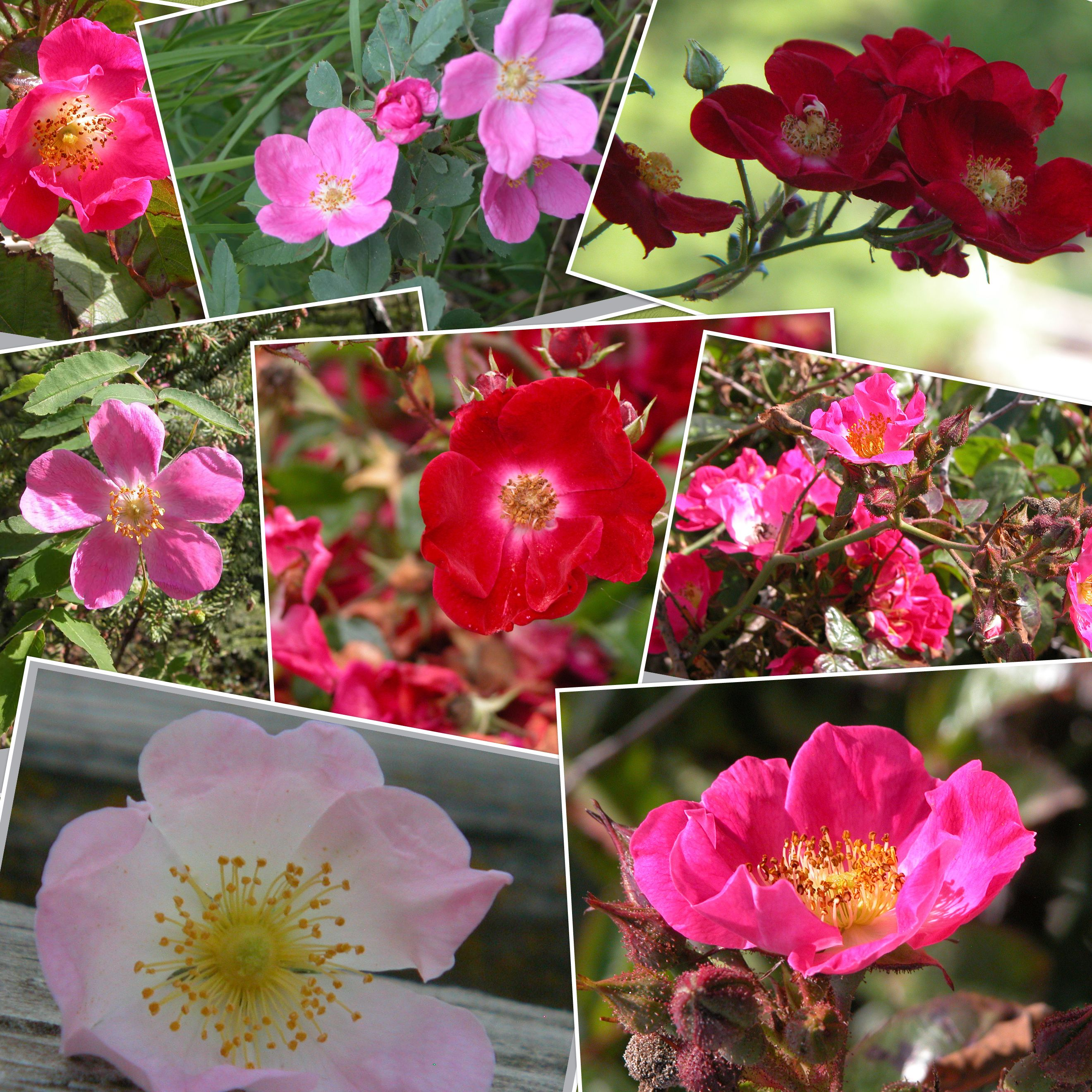 The wild Prairie Rose is the state flower of Iowa and