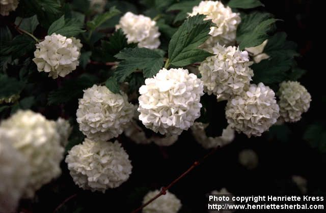 Viburnum Opulus It Is A Deciduous Shrub Growing To 4 5 M Tall The