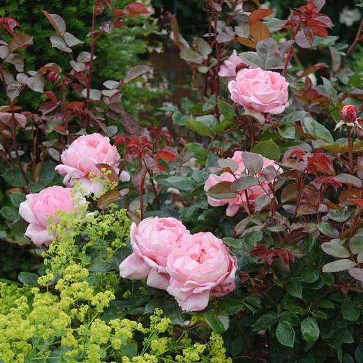 Rosa Brother Cadfael English Rose Shade Ok English Roses Rose Companion Plants Shrub Roses