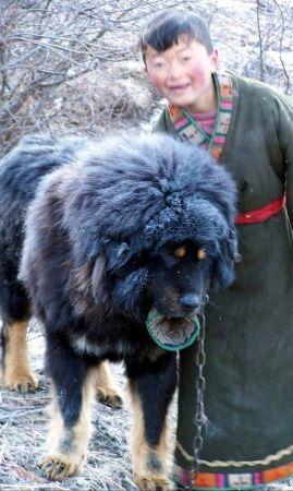 Tibetan Mastiff Tibetan Mastiff In China Do Kyi And His Best Friend Tibetan Dog Tibetan Mastiff Dog Large Dog Breeds