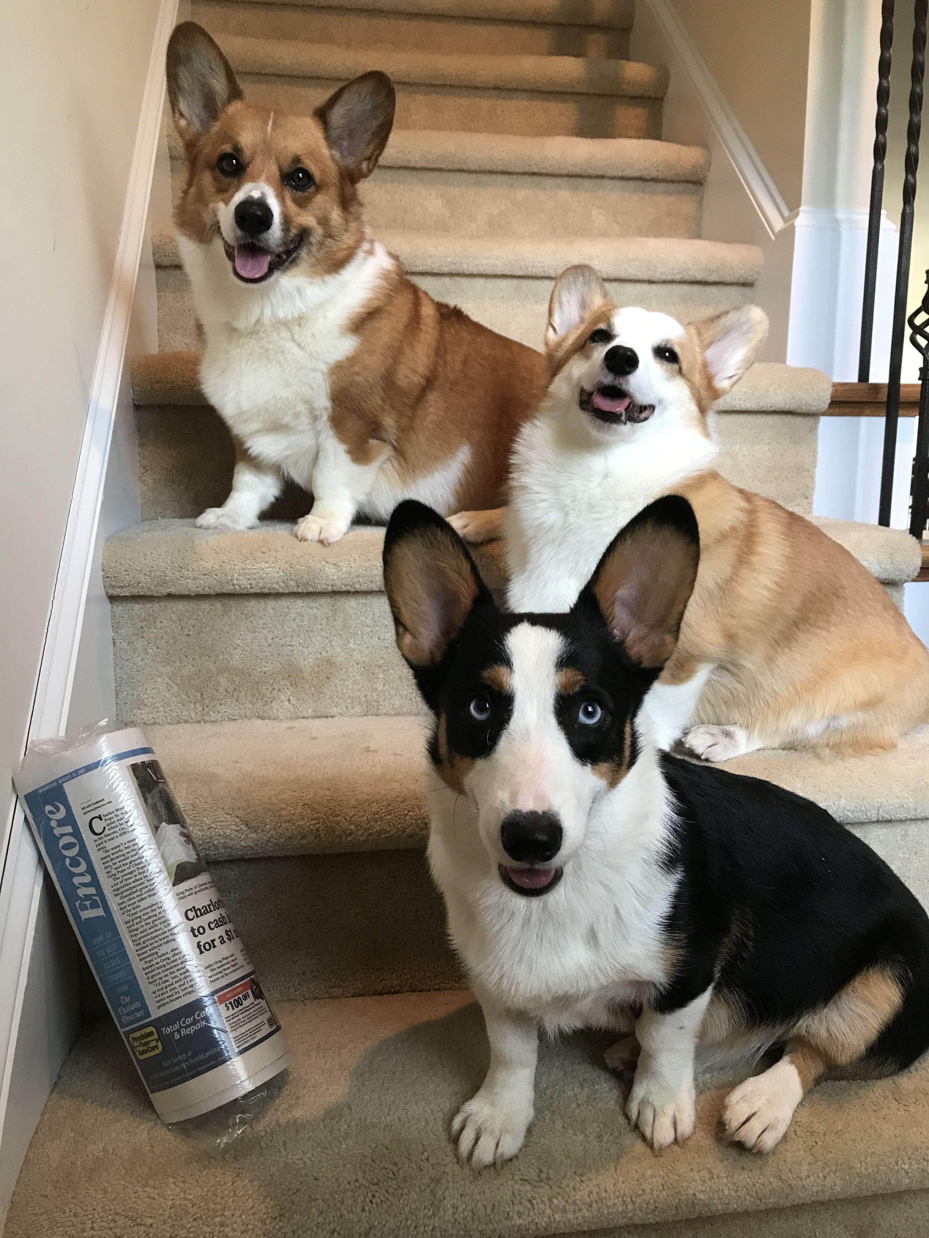 National Newspaper Carrier Day Fb Ig Threecrazycorgis Corgi Animals Dogs
