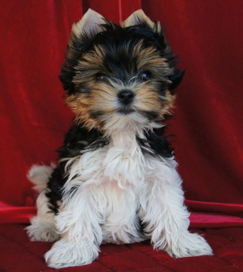 Biewer Puppies For Sale Ontario 2021