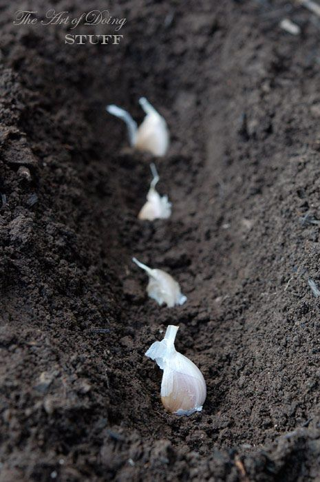"""How to Plant Garlic  Buy garlic at your local grocery store. Separate into separate cloves & pick the biggest ones to plant. Plant the garlic """"root"""" end down. Plant the cloves 4"""" apart & the pointed tips are covered by 1-2"""" of dirt. Once the scapes form during the summer, pinch them off so the plant's energy can go towards forming the bulb, not the scape flower.  By August, the plant leaves will start to dry out & turn brown.  Once all the leaves & stems are  brown, they're ready to harvest."""