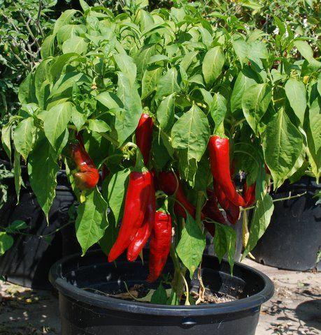 A heirloom variety from Bulgaria.!! Chervena Chushka Sweet Pepper Seeds