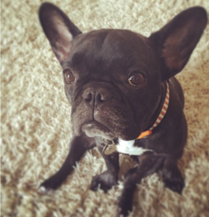 Perfection! #Hootie #frenchbulldog