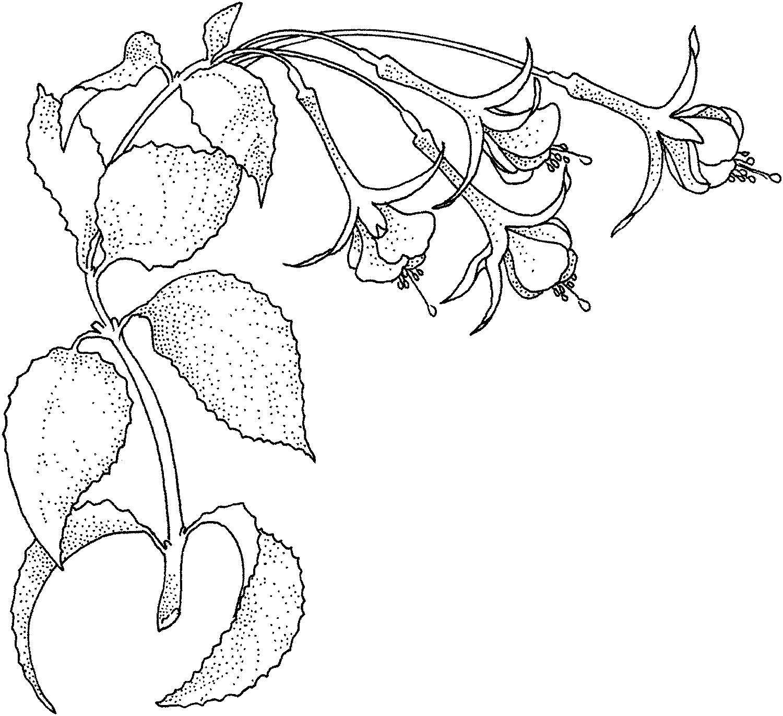 Fuchsia 1 Art Doodle Flowers