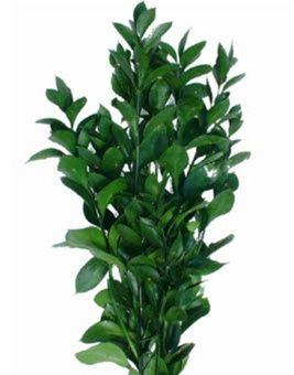 Israeli Ruscus: Lasts Forever in a vase.