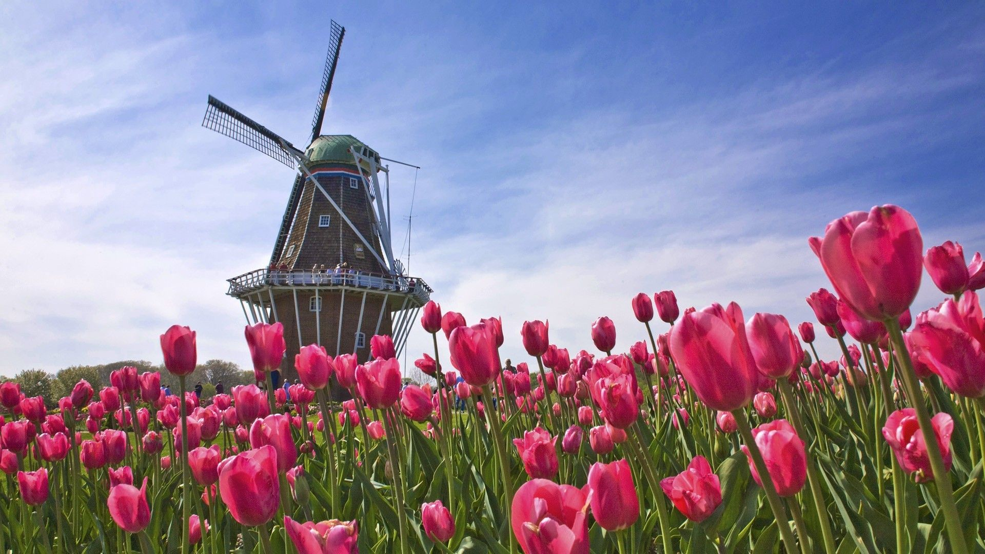 Landscapes Nature Tulips Windmills Pink Flowers 1920x1080 Nature Tulips Windmills Pink Flowers Via Www Allwal Field Wallpaper Flower Wallpaper Windmill