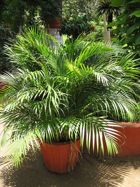 Outdoor Palm Trees For Sale.Need Pictures Of Shade Pallms Palms Potted Palm Trees