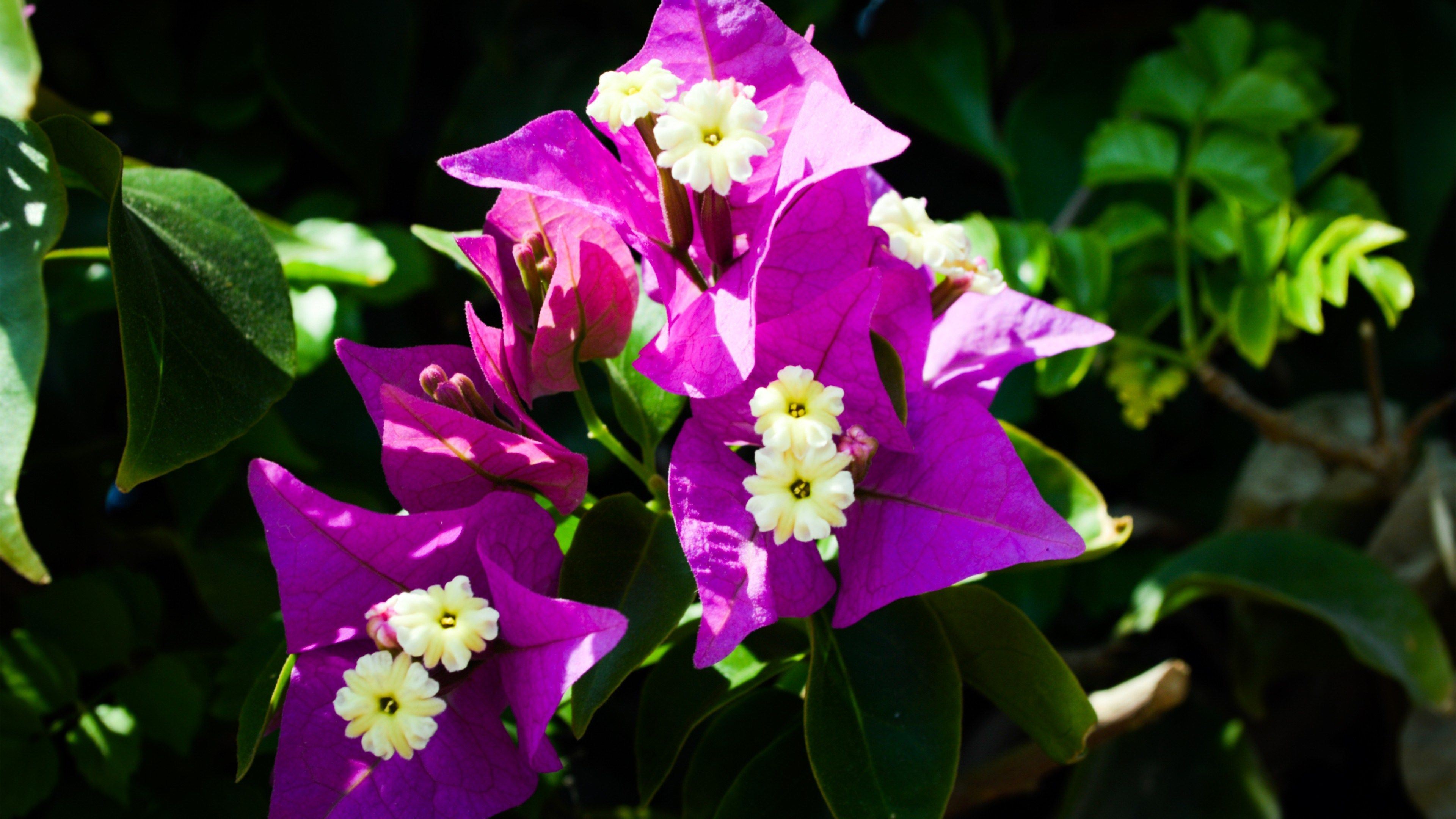 Bougainvillea Wallpaper 4k Wallpaper Bougainvillea 3840x2160 Wallpaperscreator