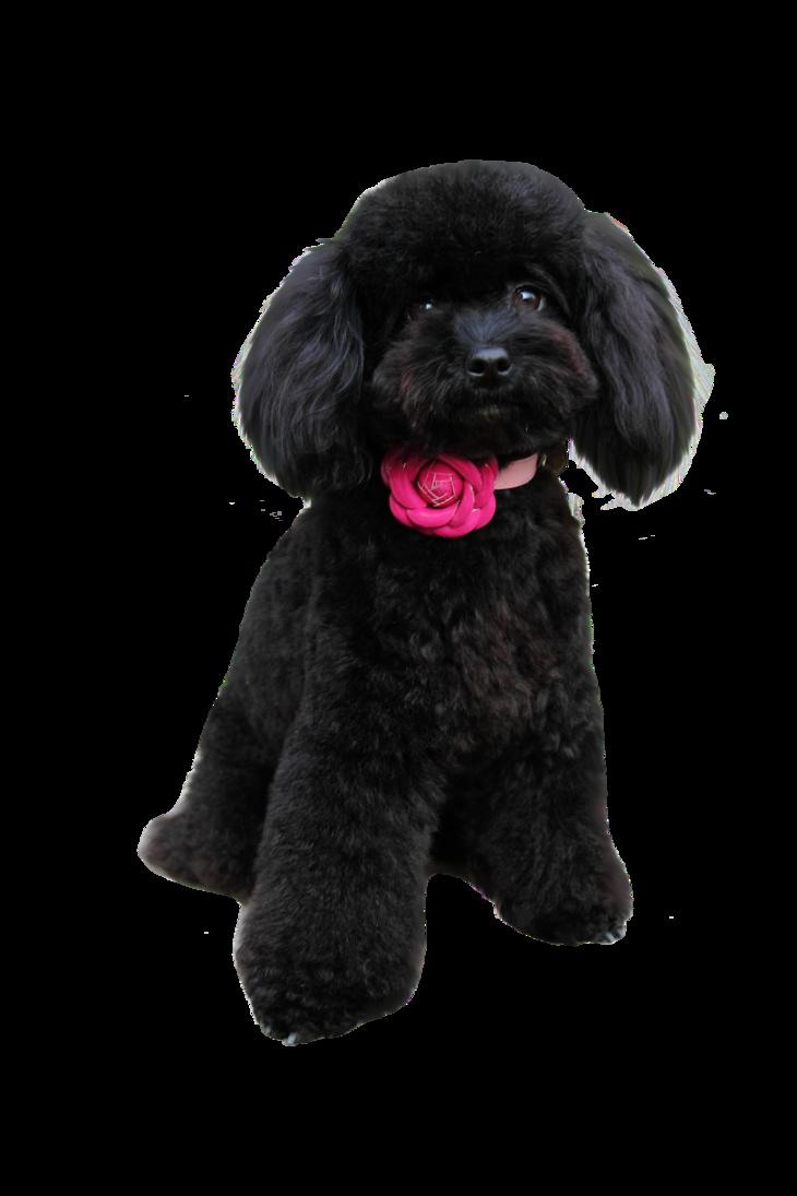 Black Poodle Poodle Poodle Grooming Poodle Puppy