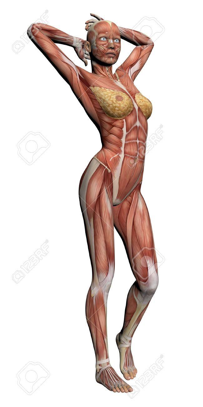 Anatomie Humaine - Muscles Femelle Fait Dans Un Logiciel 3D Banque D ...