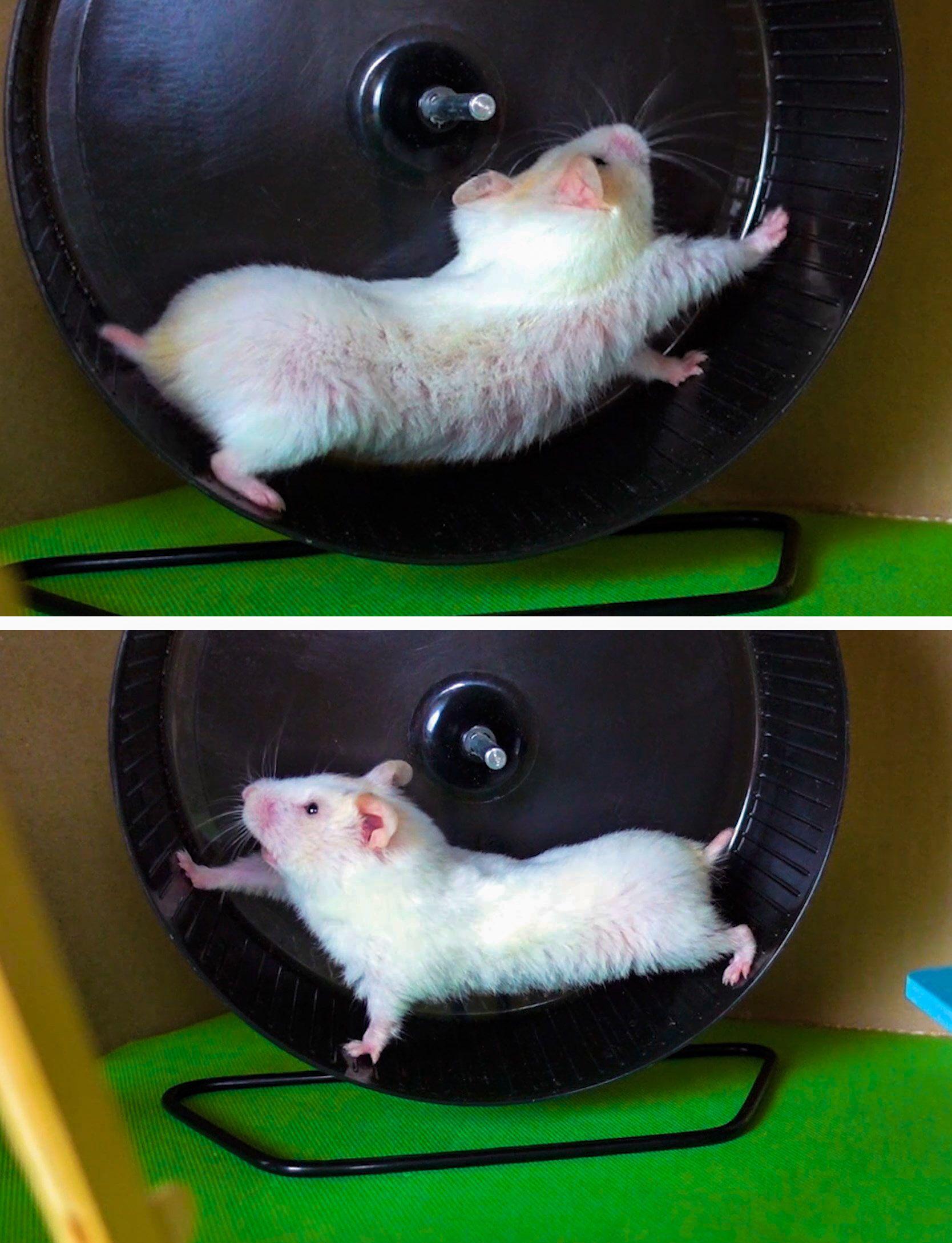 Syrian Hamster in the wheel (с изображениями)