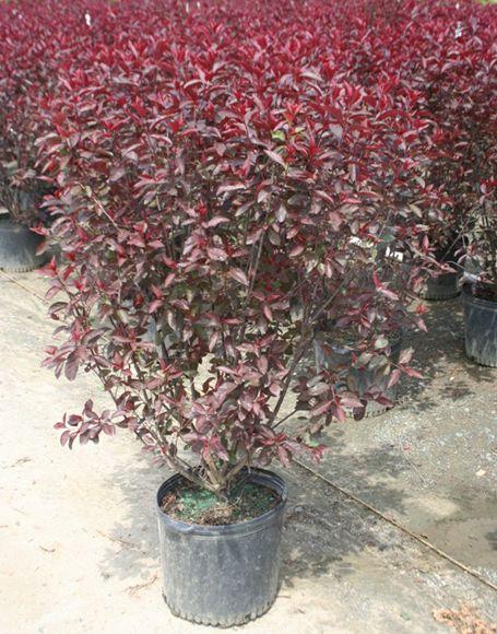 Dwarf Purple Leaf Sand Cherry Moon Nurseries Purple Leaf Sand Cherry Moon Nursery Plants