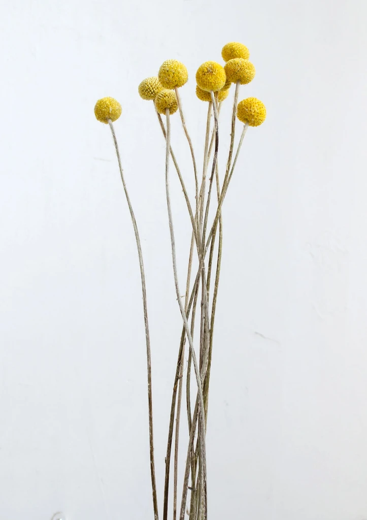Dried Natural Craspedia Bright Yellow In 2020 Dried Flowers Dried Flower Bouquet Craspedia