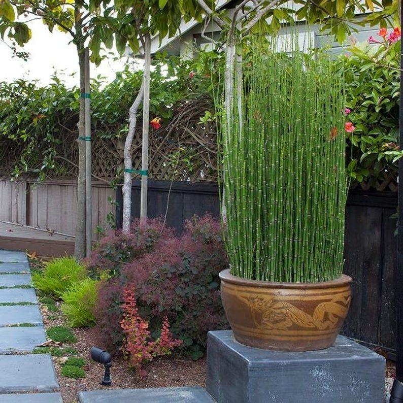 Equisetum Hyemale Miniature Bamboo Plant Scouring Rush Rough