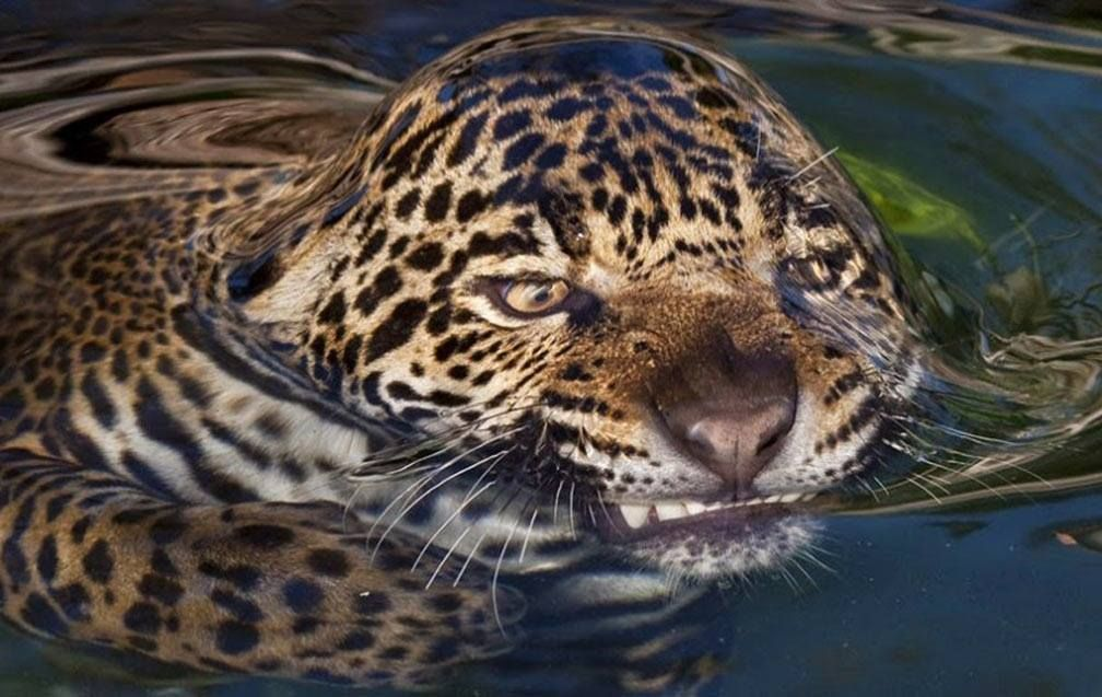Jaguar And Water Tension Animals Funny Animals Funny Animal Pictures