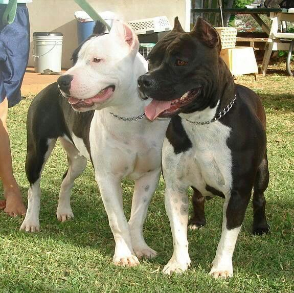 Black And White Pits Pitbull Dog Pitbulls Dog Lovers
