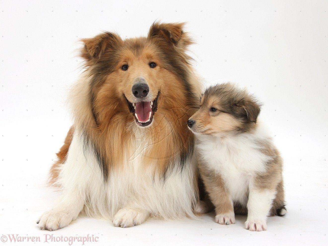 Dog Photos Wp38066 Sable Rough Collie Dog And Puppy 7 Weeks