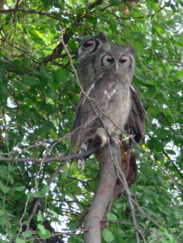 Verreaux's Eagle-Owls