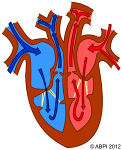 The circulatory system knowledge pinterest circulatory system the circulatory system ccuart Choice Image