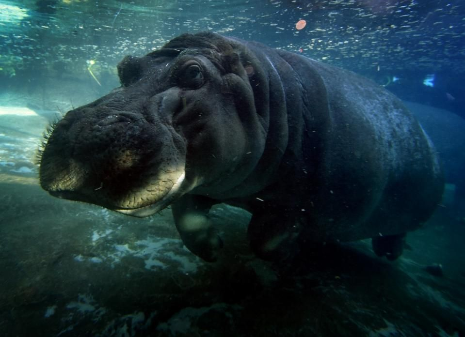 Who's your daddy? Hippo ancestry unveiled - Yahoo News