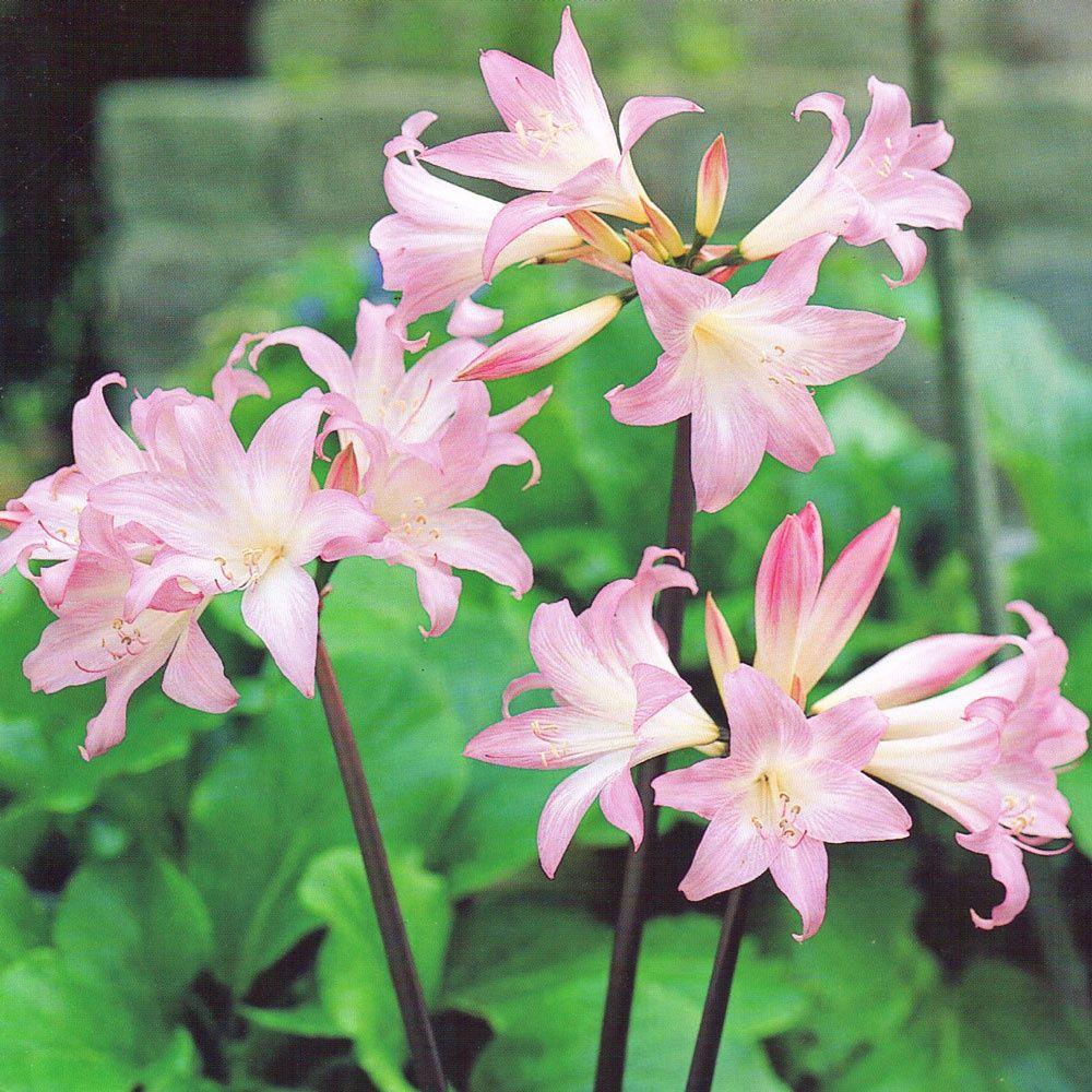 Amaryllis Belladonna Plants Identification Pinterest Plant