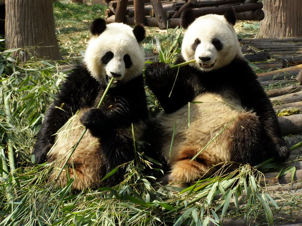 endangered+species | china has gone to extraordinary lengths to