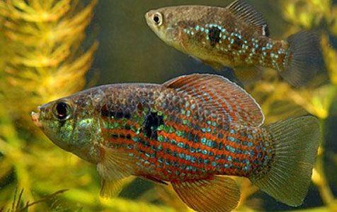 Jordanella floridae - Flagfish  This is a native of Florida
