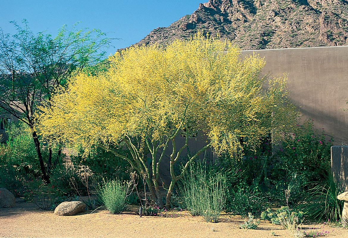 Foothills palo verde 15 x 15 slow growing full sun very foothills palo verde x slow growing full sun very little water bright green bark saffron flowers mightylinksfo