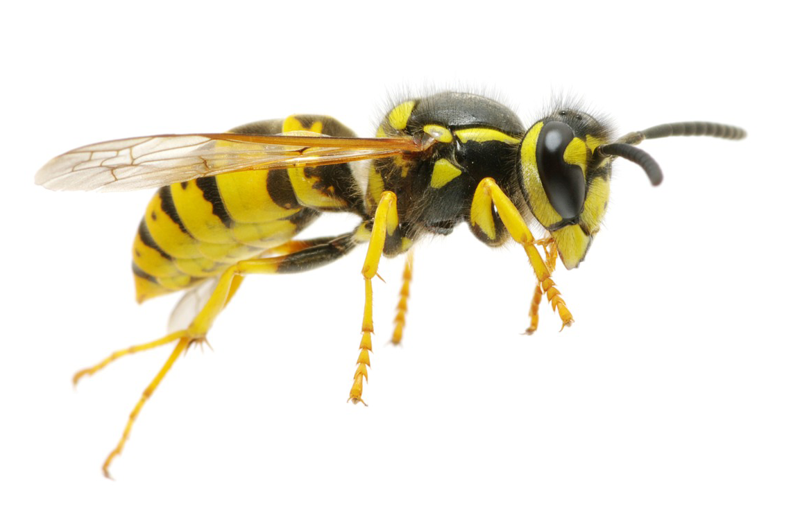 They Raid Honeybee Hives And They Have Been Known To Kill Them In The Process This Is A Sufficient Reason To Learn How To Get Rid Of Yellow Wasp Insects Fleas