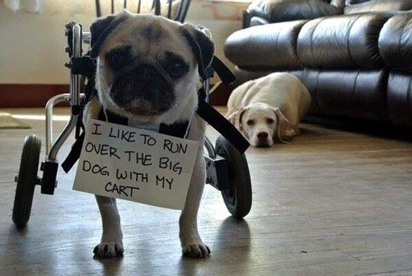 Pug--gotta use what you got  ♥