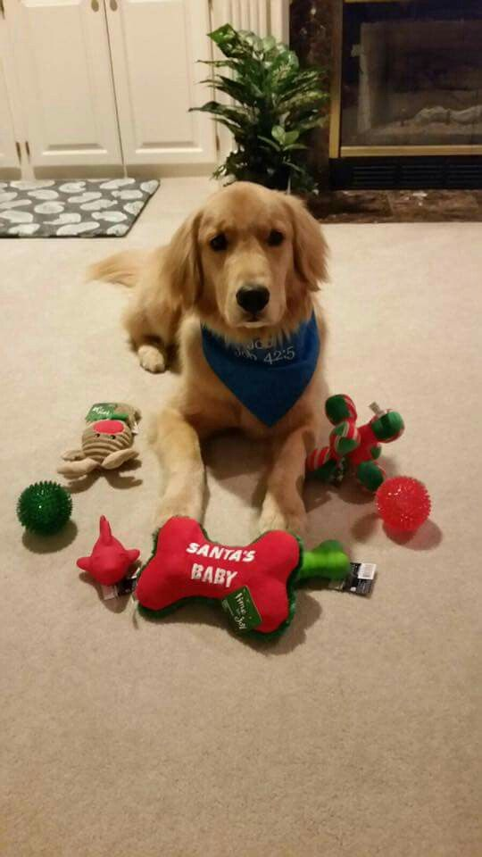 Job Comfort Dog With Christmas Toys Job Is Handled By Christ The King Lutheran Church In Memphis Tn Dogs Golden Retriever Like Animals