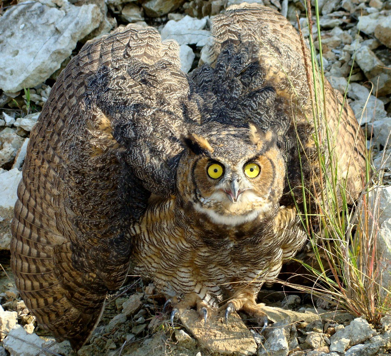 Great Horned Owl by Animal Cognizance