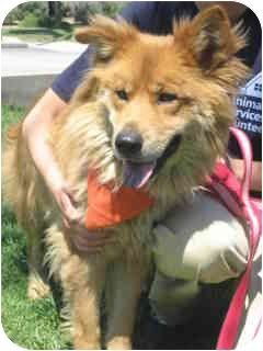 Marina Del Rey Ca Chow Chow Collie Mix Meet Ava A Dog For