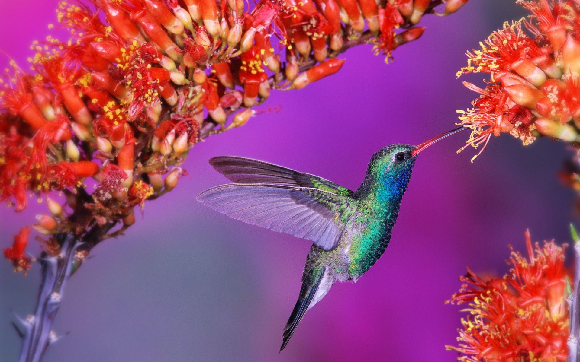 humming birds wallpapers and backgrounds HummingBird
