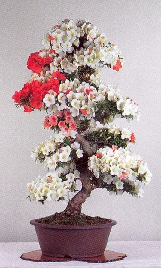 flowering bonsai g ller pinterest. Black Bedroom Furniture Sets. Home Design Ideas