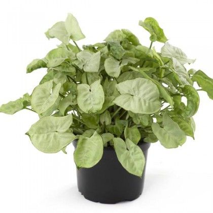 34 Poisonous Houseplants For Dogs And Cats Plants Arrowhead