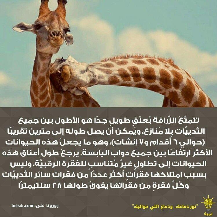 تتمت ع الز رافة ب عن ق طويل جد ا هو الأطول بين جميع الثديي ات ب لا م نازع وي مكن أن يصل طوله إلى مترين تقريب ا حوالي 6 أقدام و7 إنش Giraffe Animals Oio