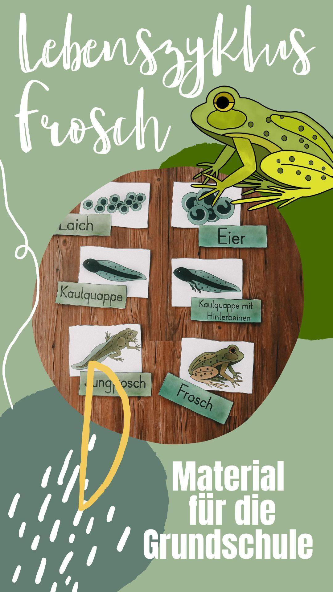 Lebenszyklus Frosch Tafelmaterial mit Bildkarten & Textkarten ...
