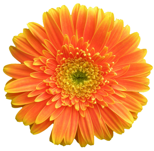 An Entry From Transparent Flowers Powered By Tumblr Com Transparent Flowers Gerbera Jamesonii Cartoon Flowers