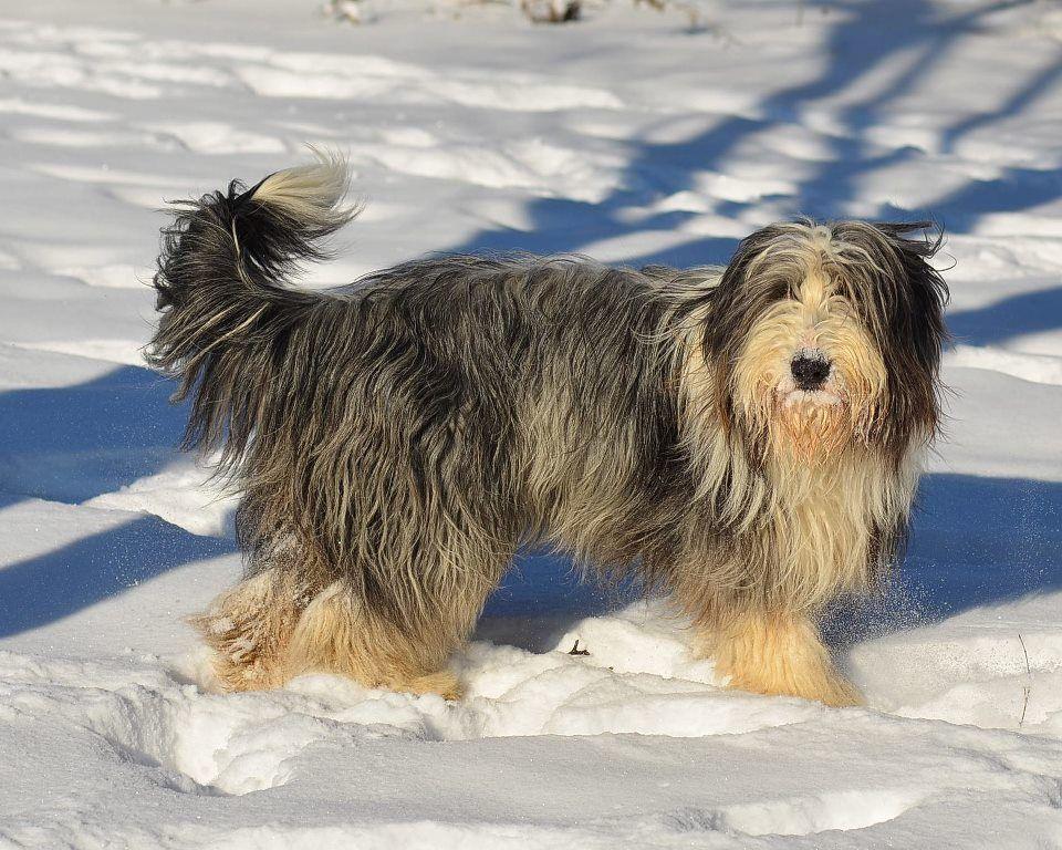 300315 2933108903864 167804913 N Jpg Dachshund Puppies Bearded