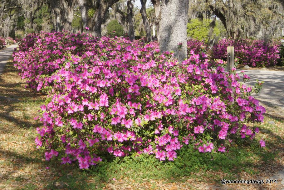 Azaleas Under Oak Trees Garden Plants Plants Green Thumb