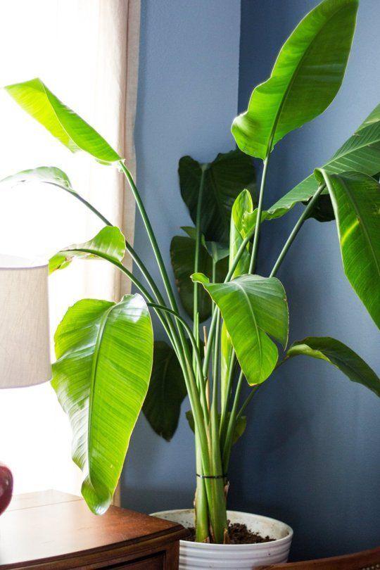 Easy indoor plants: White bird of paradise, Dracaena, Fiddle Leaf ...